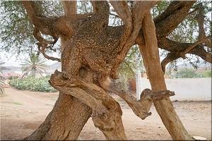 zbliżenie konaru drzewa agranowego