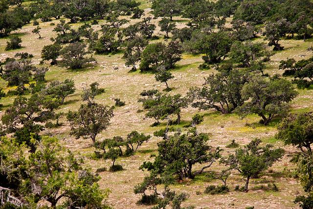 zdjęcie lasu arganowego z lotu ptaka