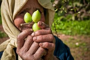 zielone owoce arganii