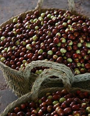owoce arganii w koszach